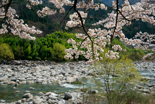 木曽川右岸の桜の写真素材 [FYI04079263]