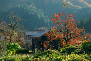 山里の柿の写真素材 [FYI04079307]