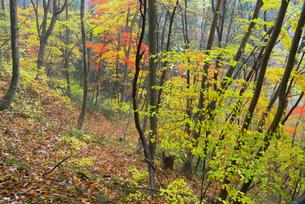 鷲見城遺跡 三の木戸 北面崖の紅葉の写真素材 [FYI04079420]