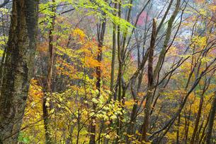 鷲見城遺跡 三の木戸より上の北面崖の紅葉 長良川を望むの写真素材 [FYI04079421]