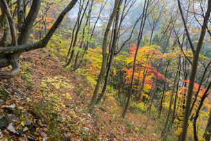 鷲見城遺跡 三の木戸 北面崖の紅葉の写真素材 [FYI04079426]