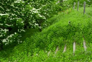 明智城  別名明智長山城   大手曲輪虎口に咲くヤマボウシの写真素材 [FYI04079460]