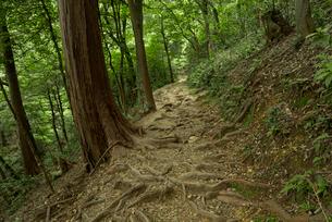 岐阜城 搦手道 瞑想の小径 木根道の写真素材 [FYI04079481]