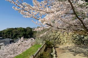 松阪城 二の丸跡隅櫓の石垣と桜の写真素材 [FYI04079538]
