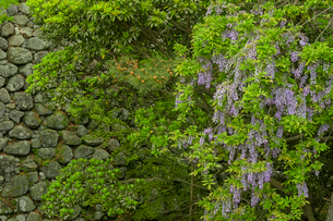 松坂城 きたい丸の隅櫓跡より見たフジの花の写真素材 [FYI04079541]