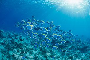 パウダーブルーサージョンフィッシュの群れと水面から差し込む光の写真素材 [FYI04079562]