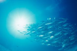 ギンガメアジの群れと水面から差し込む光の写真素材 [FYI04079572]