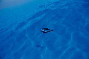 水面で泳ぐタイセイヨウマダライルカの写真素材 [FYI04079573]