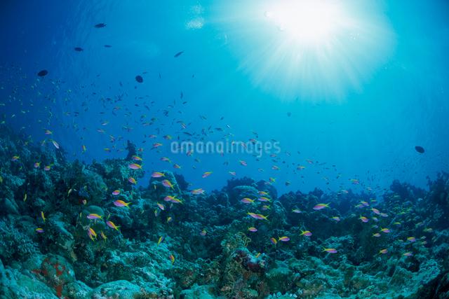 エバンスアンティアスの群れと水面から差し込む光の写真素材 [FYI04079575]
