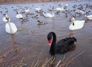 黒鳥と白鳥の写真素材 [FYI04079659]
