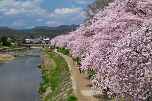 高野川の桜並木の写真素材 [FYI04079943]