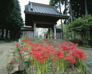 本寿寺 彼岸花の写真素材 [FYI04080343]