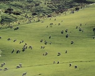 羊の放牧の写真素材 [FYI04080805]