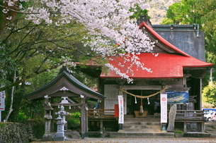 桜の紫尾神社の写真素材 [FYI04081132]
