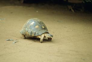 ベレンティ公園の陸亀の写真素材 [FYI04081922]