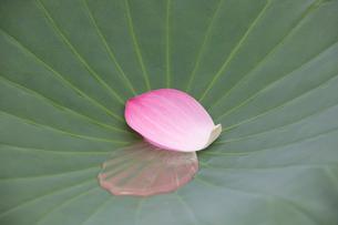 平の沢池に咲く蓮の花の写真素材 [FYI04081989]
