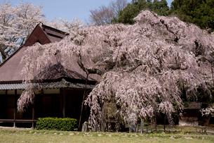 室生山中腹から望む西光寺の城之山桜の写真素材 [FYI04081990]
