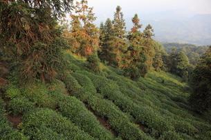 蒙頂山の茶畑の写真素材 [FYI04082023]