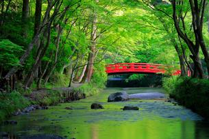 新緑の小国神社 太鼓橋の写真素材 [FYI04082189]