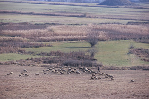 コチエリノヴォ村より望む羊の放牧の写真素材 [FYI04082325]