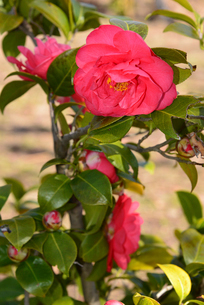 新潟県立鳥屋野潟公園に咲くユキツバキの写真素材 [FYI04083083]