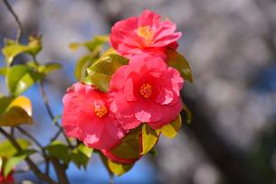 新潟県立鳥屋野潟公園に咲くユキツバキの写真素材 [FYI04083087]