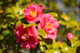 新潟県立鳥屋野潟公園に咲くユキツバキの写真素材 [FYI04083089]