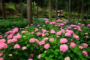 梅雨の花 アジサイ咲く京都の寺の写真素材 [FYI04083115]