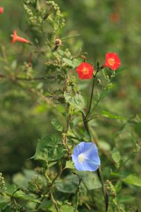 アメリカアサガオ 赤い花はマルバルコウソウ 放棄畑にはびこっの写真素材 [FYI04083165]