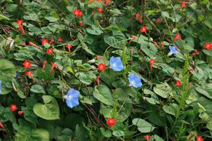 アメリカアサガオ 赤い花はマルバルコウソウ 放棄畑にはびこっの写真素材 [FYI04083167]