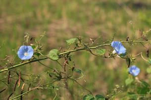 アメリカアサガオ 放棄畑にはびこっていたの写真素材 [FYI04083168]
