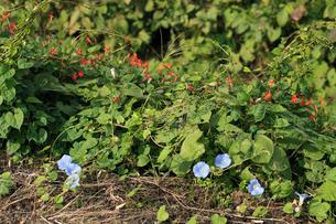 アメリカアサガオ 赤い花はマルバルコウソウ 放棄畑にはびこっの写真素材 [FYI04083170]