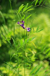 レンリソウ 花の写真素材 [FYI04083201]