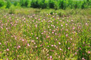 アカバナユウゲショウ 花の写真素材 [FYI04083202]