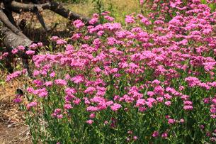 ヒメビジョサクラ 花の写真素材 [FYI04083205]