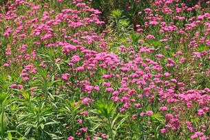 ヒメビジョサクラ 花の写真素材 [FYI04083206]