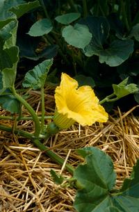 カボチャの雌花 の写真素材 [FYI04083209]
