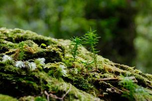 ヤクスギ(屋久杉)の倒木上更新の写真素材 [FYI04083221]