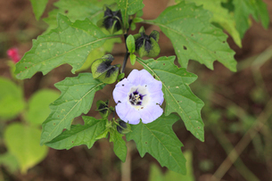 クロホオズキの花の写真素材 [FYI04083223]