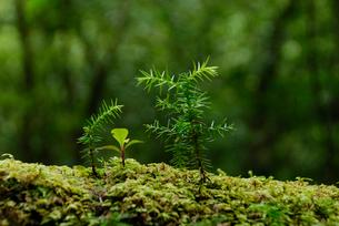 ヤクスギ(屋久杉)の倒木上更新の写真素材 [FYI04083227]