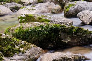 ホソバハグマ(キッコウハグマの屋久島固有種)の写真素材 [FYI04083236]