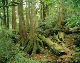 倒木上に育ったヤクスギ(倒木上更新)の写真素材 [FYI04083237]