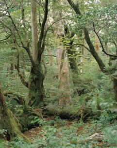 屋久杉の倒木上更新とヤマグルマの着生(屋久島原生自然環境保全の写真素材 [FYI04083239]