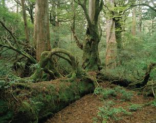 ヤクスギの倒木上更新とヤマグルマの着生(屋久島原生自然環境保の写真素材 [FYI04083240]