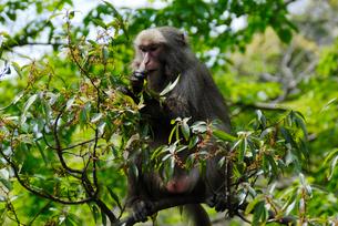 ハドノキの実を食べるヤクシマザル(ニホンザル)の写真素材 [FYI04083247]