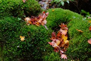 苔むす林床に落ちたコハウチワカエデ(イタヤメイゲツ)の落ち葉の写真素材 [FYI04083251]