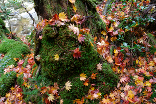 苔むす林床に落ちたコハウチワカエデ(イタヤメイゲツ)の落ち葉の写真素材 [FYI04083260]