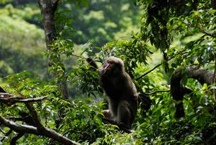 ハドノキの実を食べるヤクシマザル(ニホンザル)の写真素材 [FYI04083265]