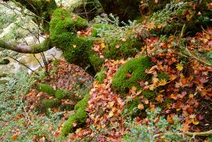 苔むす林床に落ちたコハウチワカエデ(イタヤメイゲツ)の落ち葉の写真素材 [FYI04083267]