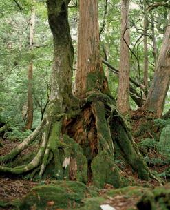 切り株更新の屋久杉に着生するヤマグルマの写真素材 [FYI04083279]